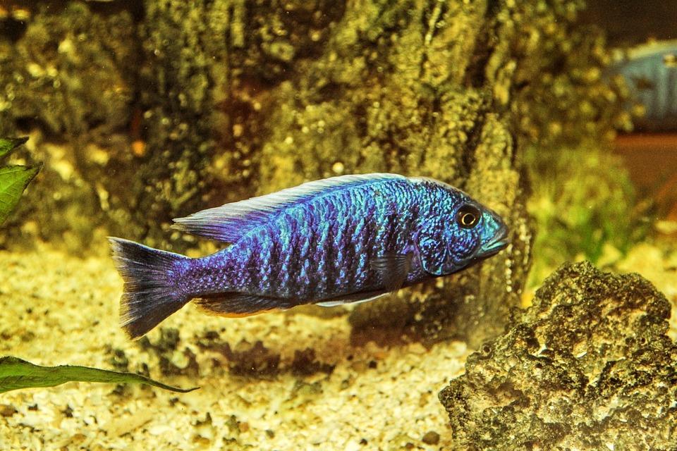 Aquarium, Toy, Fish, Freshwater Fish, Perch