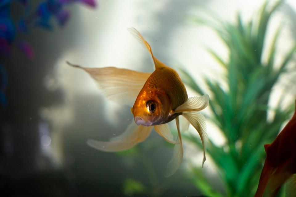 Gold, Fan Tail, Fish, Fishing, Underwater, Water, Sea