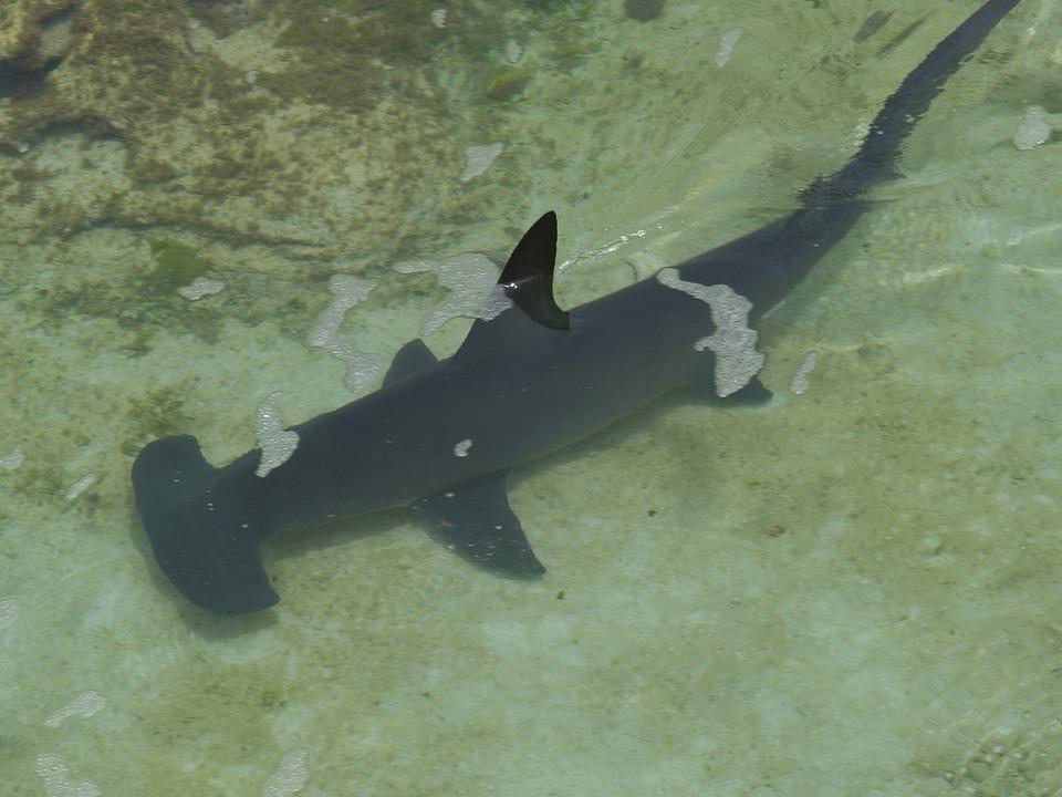 Hammerhead Shark, Shark, Underwater, Fish, Sea