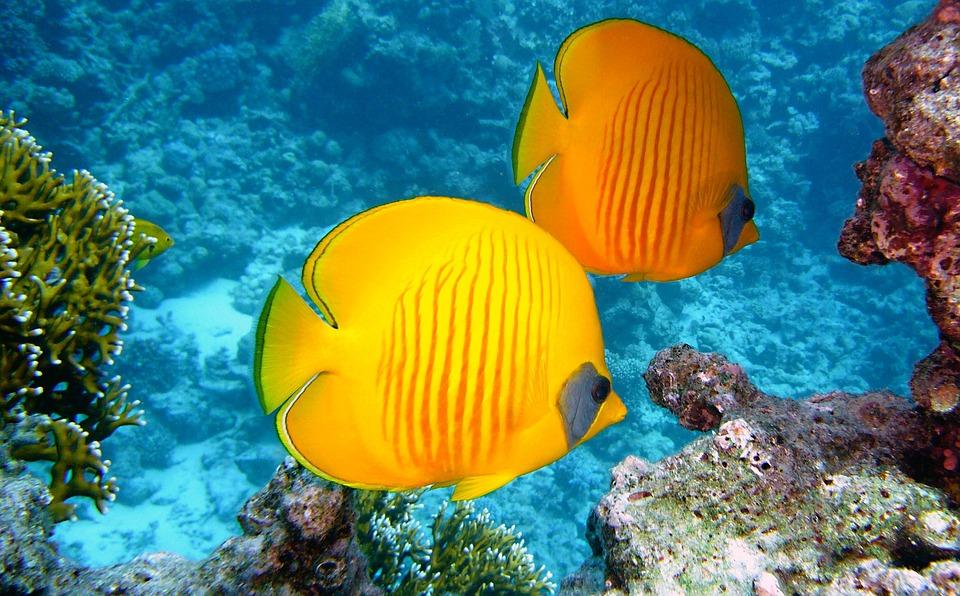 Zitronenfalter Fish, Fish, Exotic, Tropical, Yellow