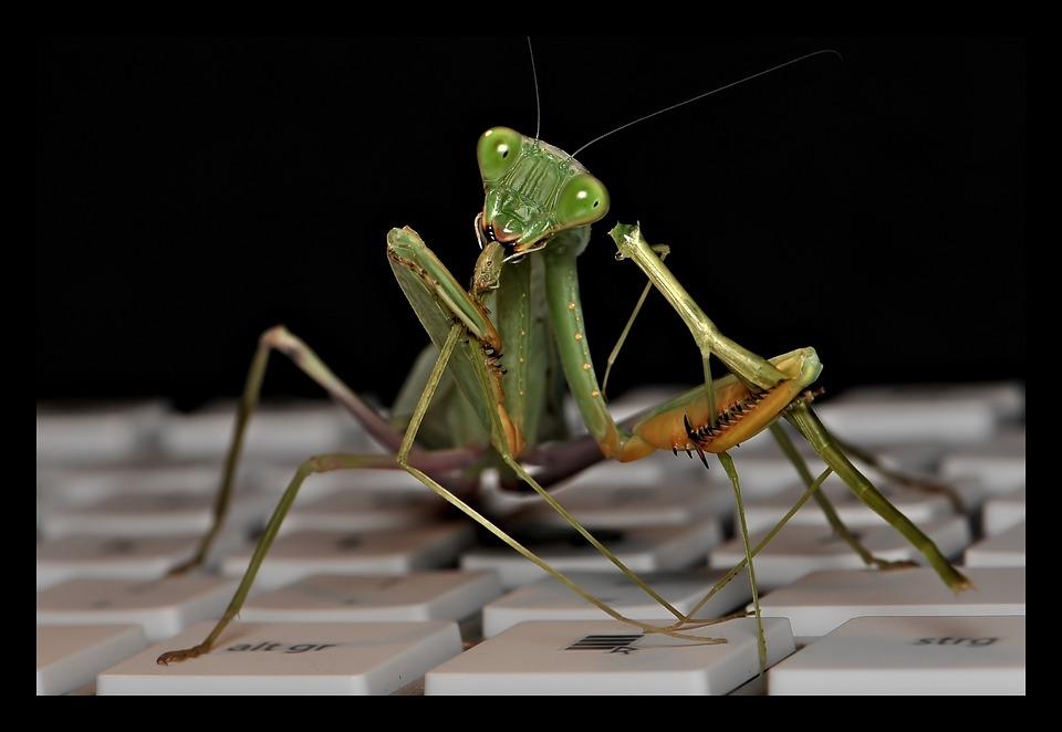 Sphodromantis Lineola, Praying Mantis, Fishing Locust