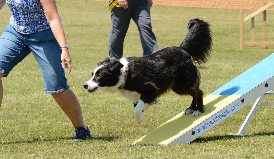 Dog, Agility, Fitness, Jump, Seesaw, Summer, Fun