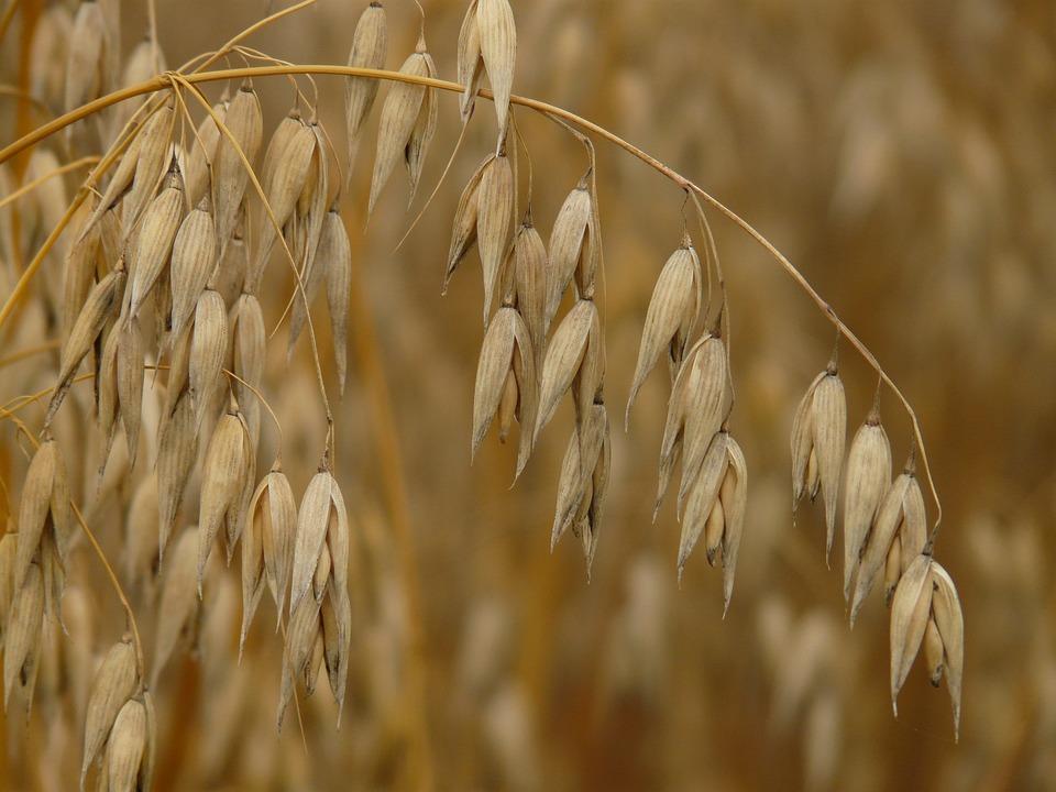 Oats, Flag Oat, Cereals, Grain, Agriculture