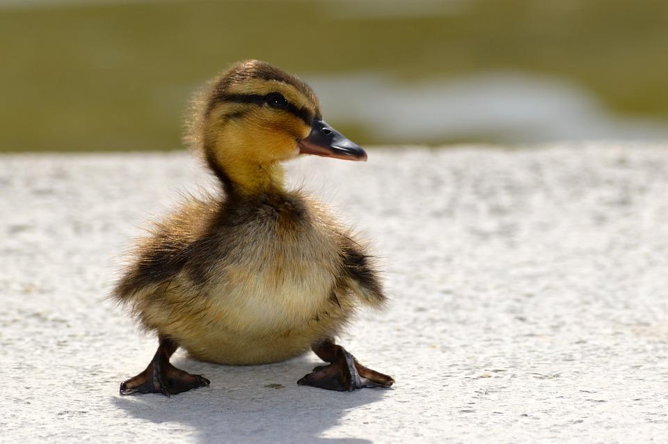Duckling, Flakes, Lakeside, Water Bird, Animals, Duck