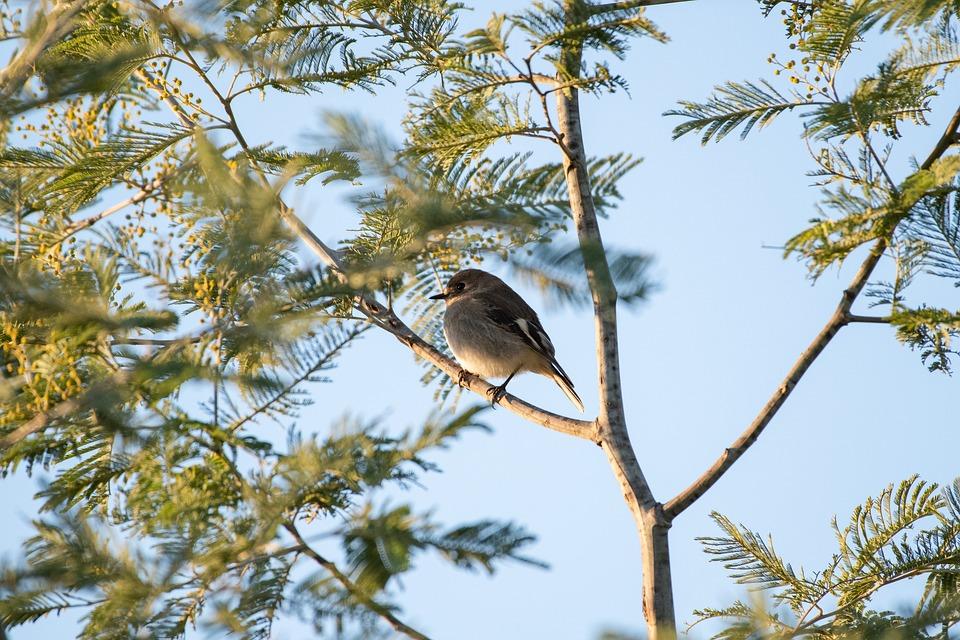 Flame Robin, Female, Bird, Wildlife, Australian