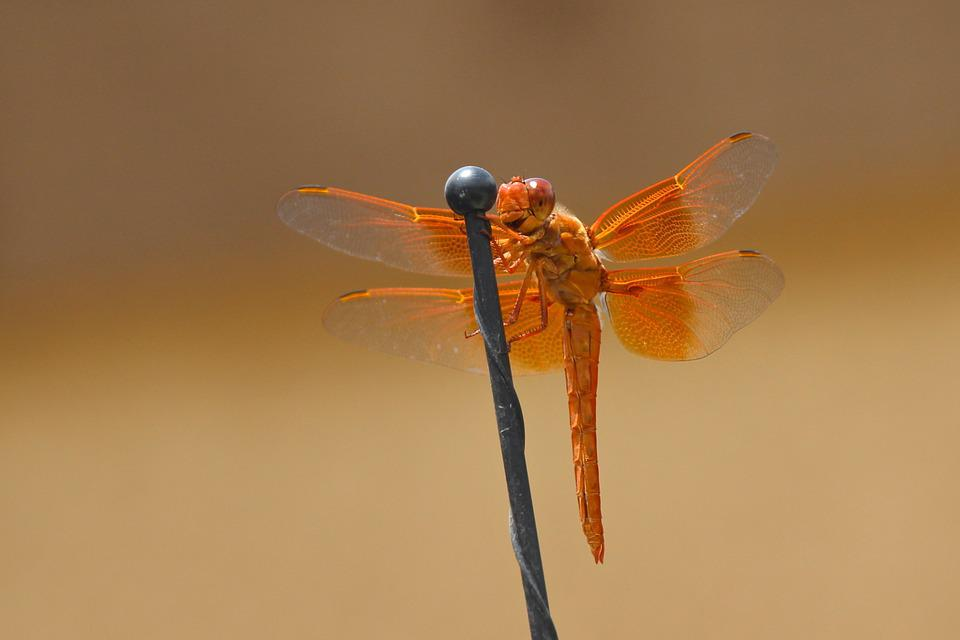 Dragonfly, Flame Skimmer, Libellula Saturata, Orange