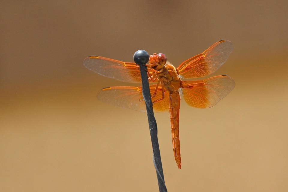Dragonfly, Flame Skimmer, Libellula Saturata, Orange