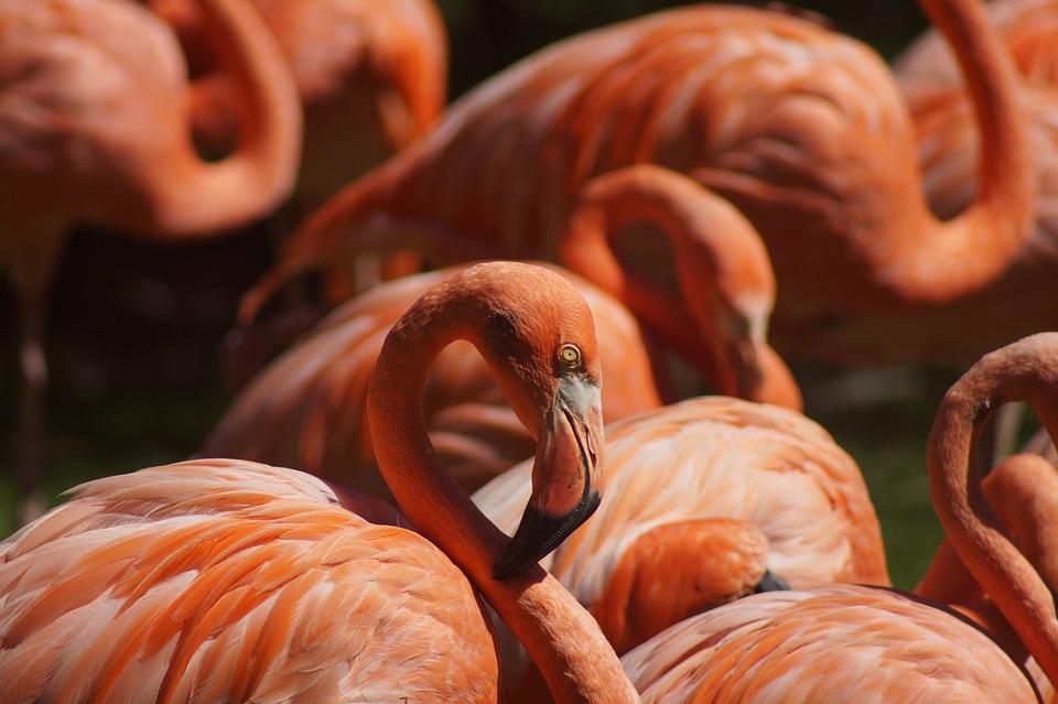 Flamingo, Bird, Animal, Wading Bird, Water Bird