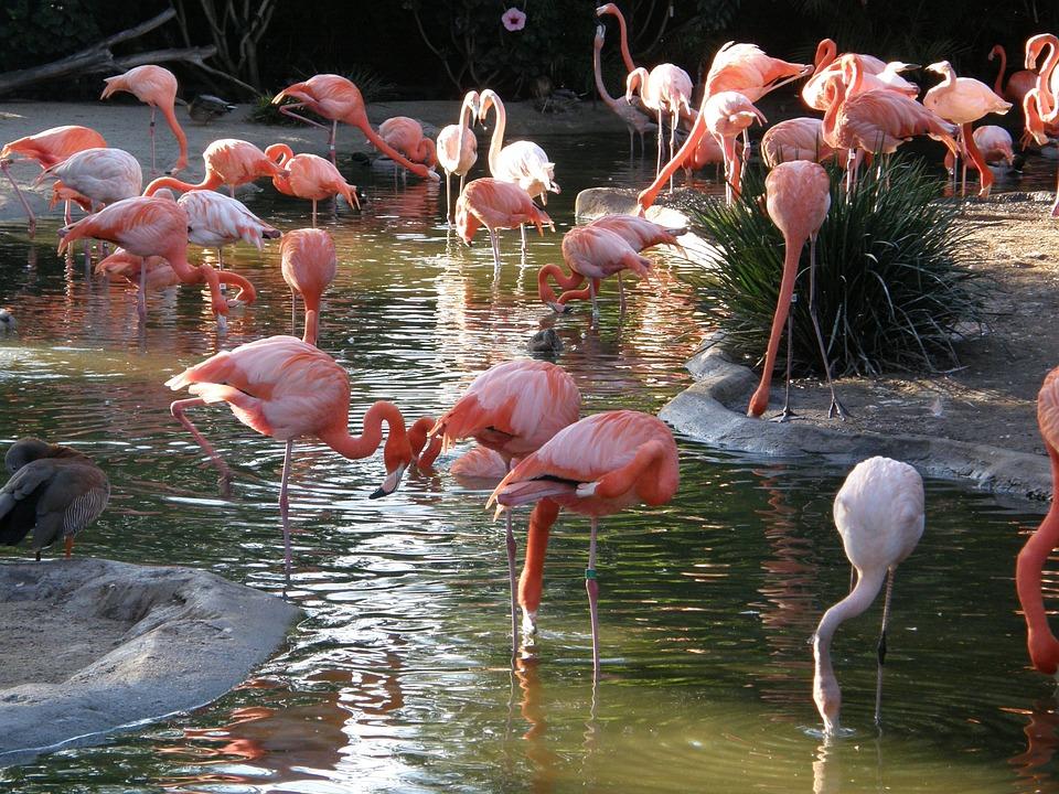 Flamingo, Bird, Nature, Tropical, Pink