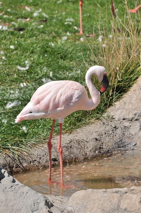 Flamingo, Bird, Lesser, Pink, Avian, Fauna, Wildlife