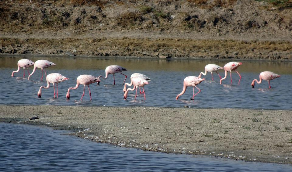 Bird, Lesser Flamingo, Phoeniconaias Minor, Flamingo