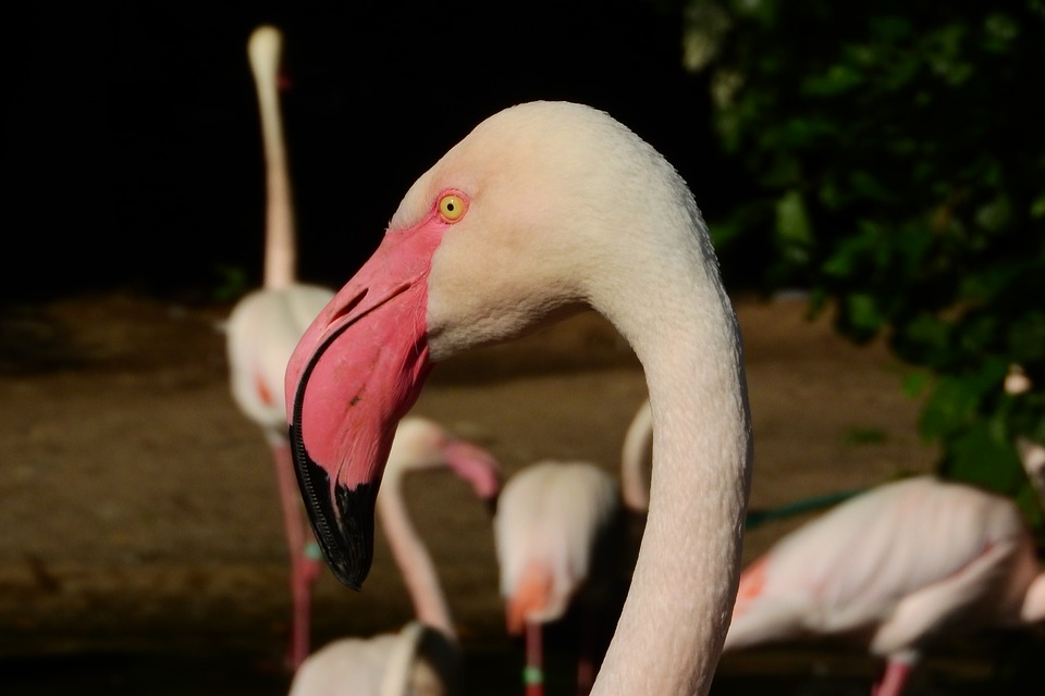 Flamingo Pink, Phoenicopterus Roseus, Flamingo, Beak