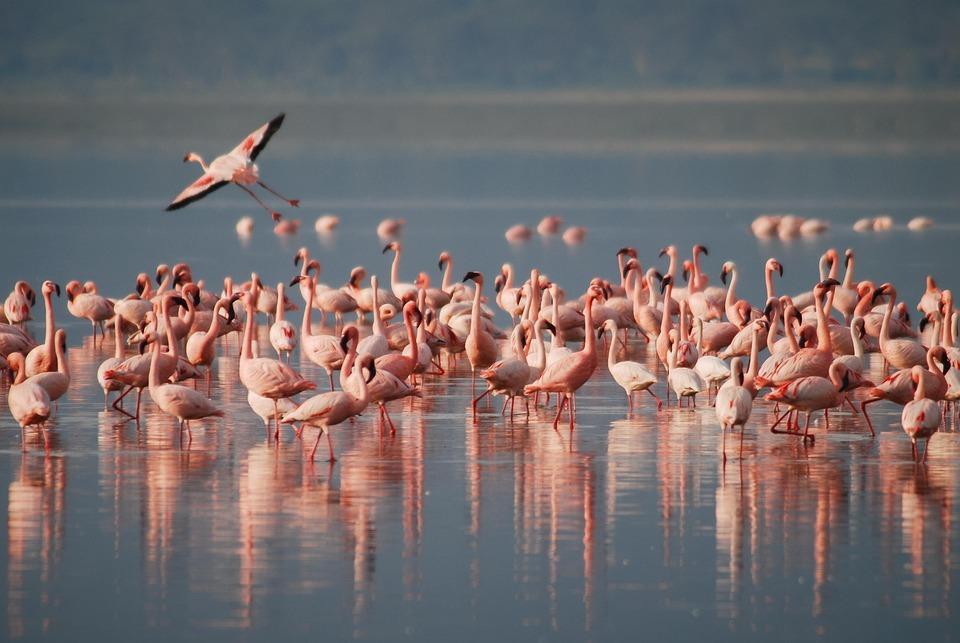 Flamingos, Africa, Wildlife, Bird, Animal, Wild, Pink