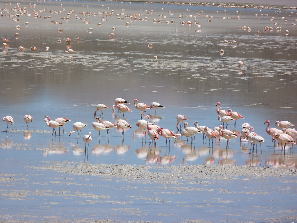 Flamingos, Andean, Lagoon, Bird, Wings, Feather