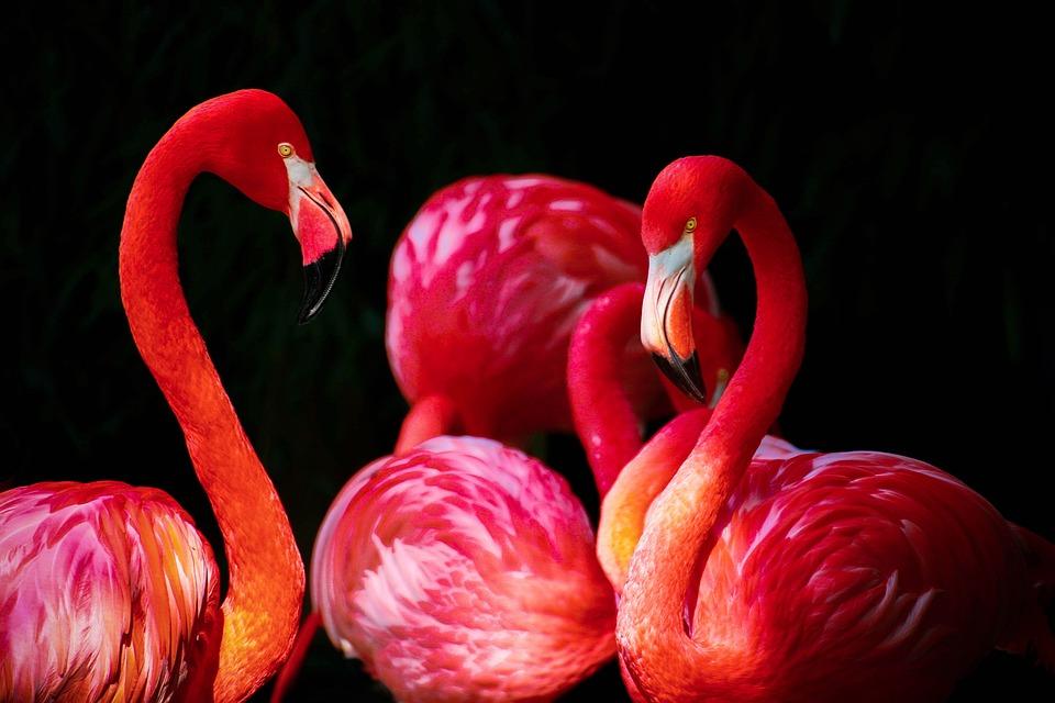 Flamingo, Phoenicopterus, Flamingos
