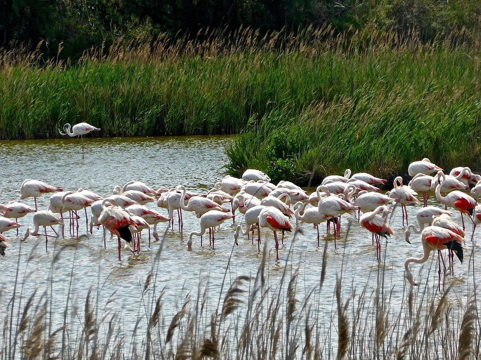 Flamingos, Lake, Wildlife, Group, Flock, Pink, Plumage
