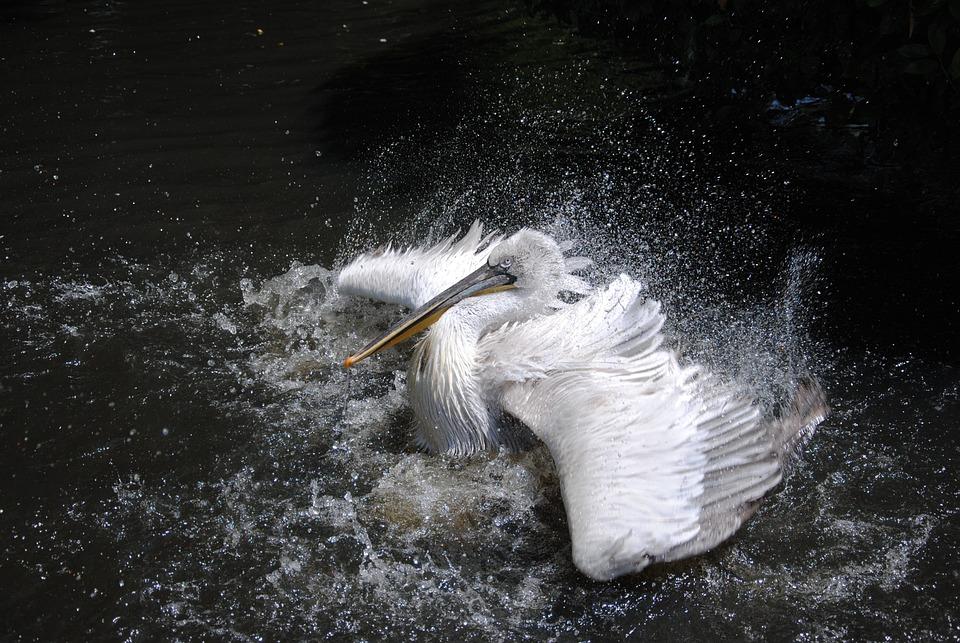 Pelican, Flapping, Splash, Bird, Animal, Wildlife