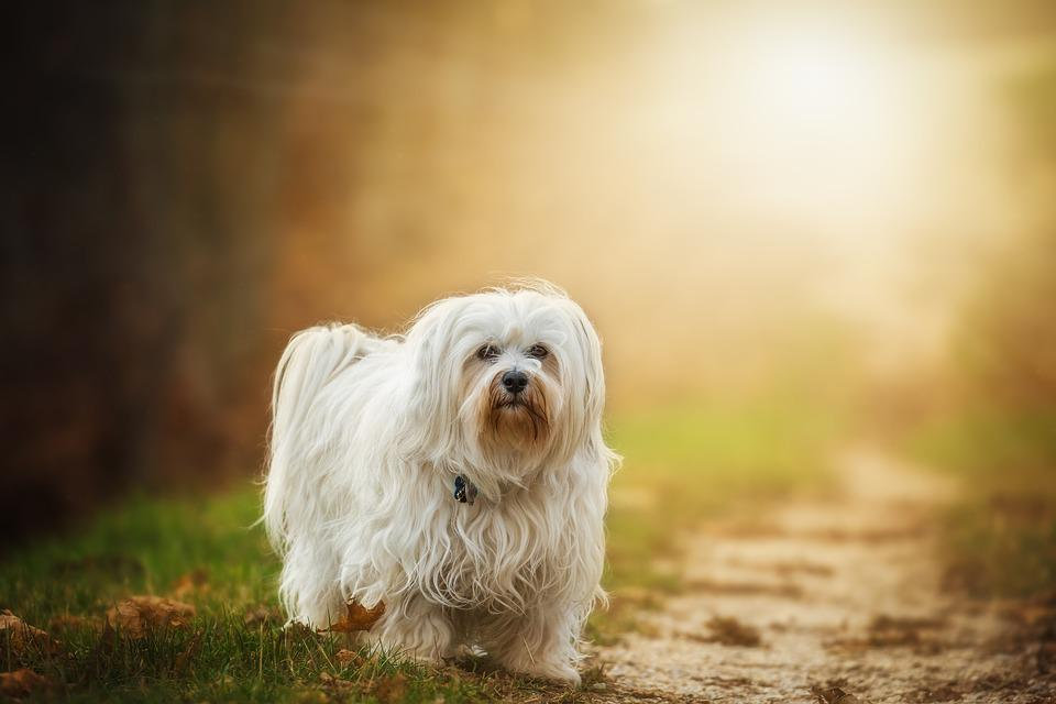 Dog, Flare, Havanese, Pet, Outdoor, Animal, Small