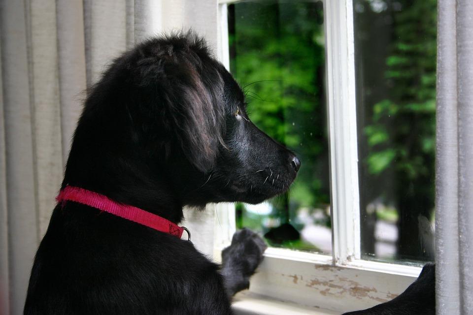 Dog, Dog At Window, Flat Coated Retriever, Dog Looking