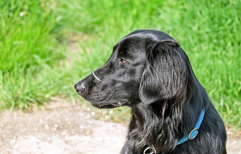 Dog, Black, Flat Coated Retriever, Hundeportrait