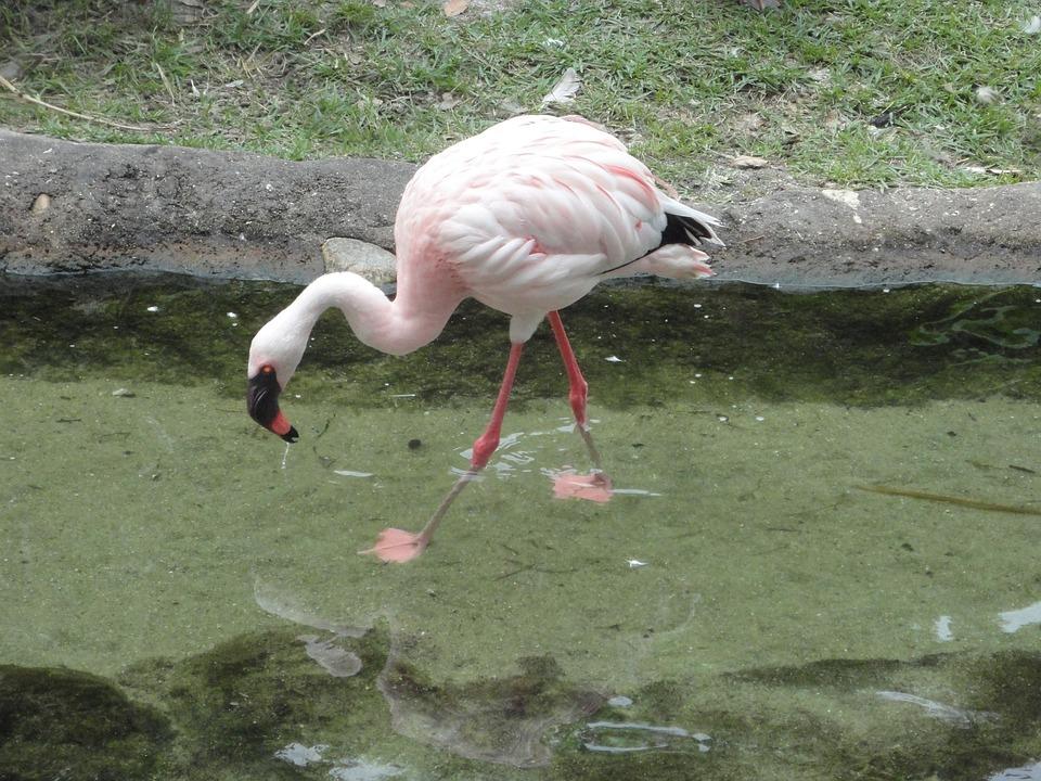 Flemish, Bird, Pink, Feathers, Pink Flemish
