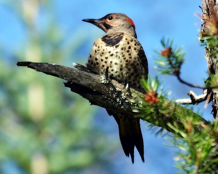 Northern Flicker, Woodpecker, Bird, Flicker, Northern