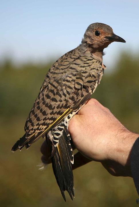 Bird, Flicker, Northern, Birds, Animals, Fauna