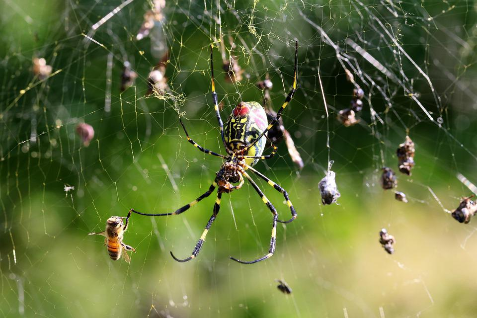 Spider, Web, Trap, Trapped, Flies, Insects, Spider Web