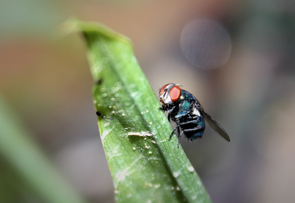 Flies, Insects, Animals, Portrait, Wing