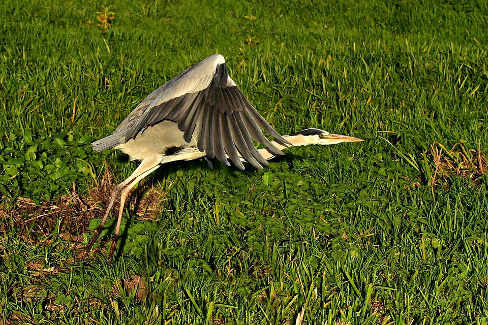 Heron, Wading Bird, Animal, Flight, Wing, Feather