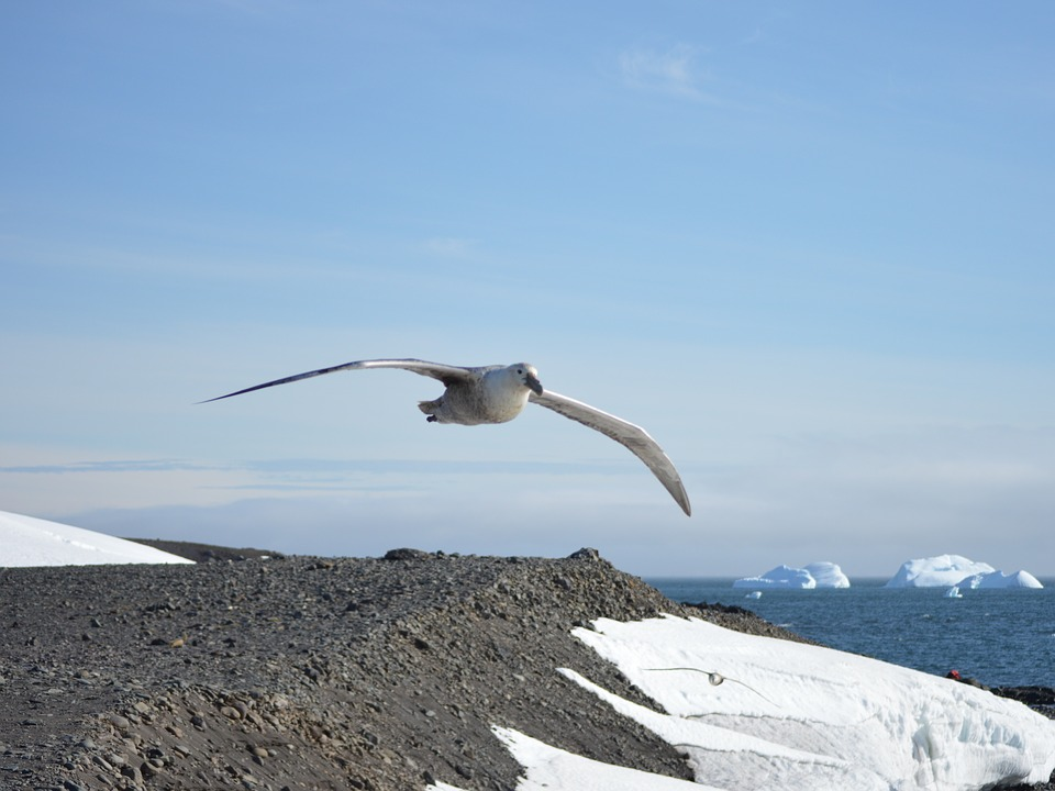 Giant Petrel, Ave, Birds, Flight, Antarctica, Animals