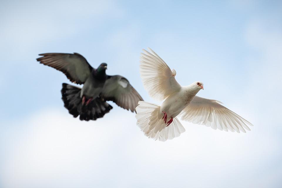Dove, Bird, Animal, Flight