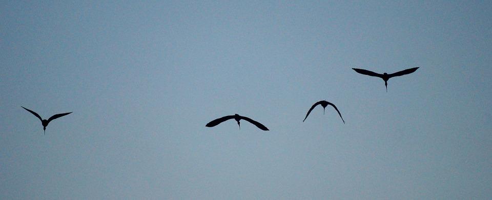 Black Ibis, Birds, Flight, Fly, Flying Birds, Wings