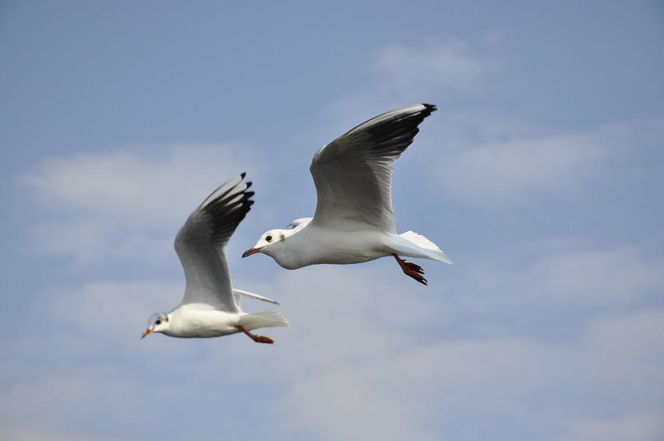 Seagulls, Birds, Flying, Flight, Gulls, Animals