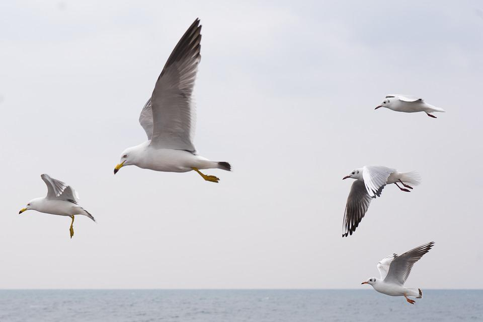 Seagull, Sea, Birds, Wing, Flight