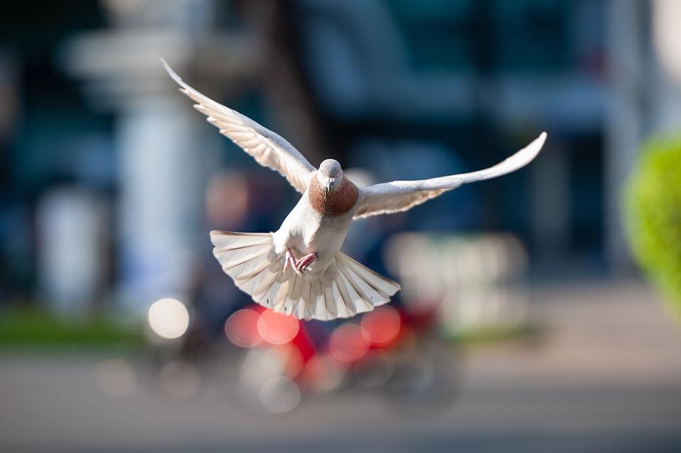 Bird, Dove, Flight, Animals