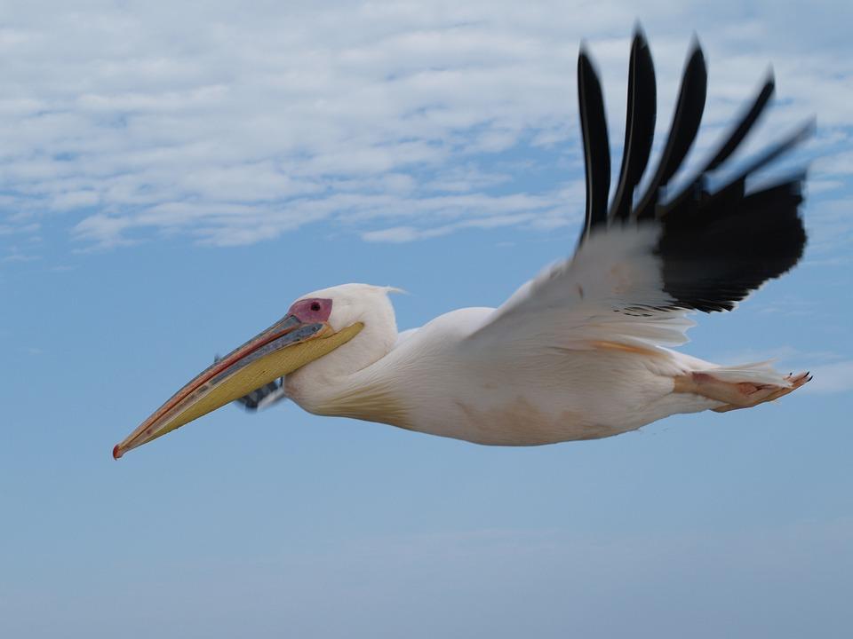 Bird, Animal World, Nature, Flight, Pelikan, Feather