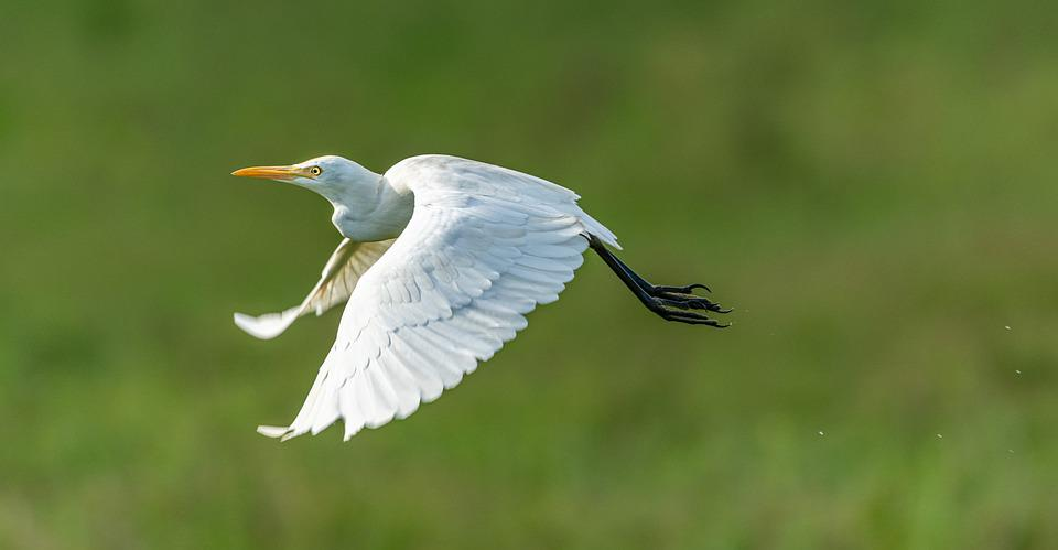 Heron, White, Flight, Flies, Feather, Bird, Nature