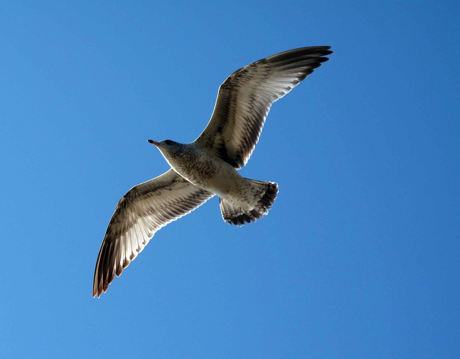 Flight, Seagull, Sky, Nature, Fly