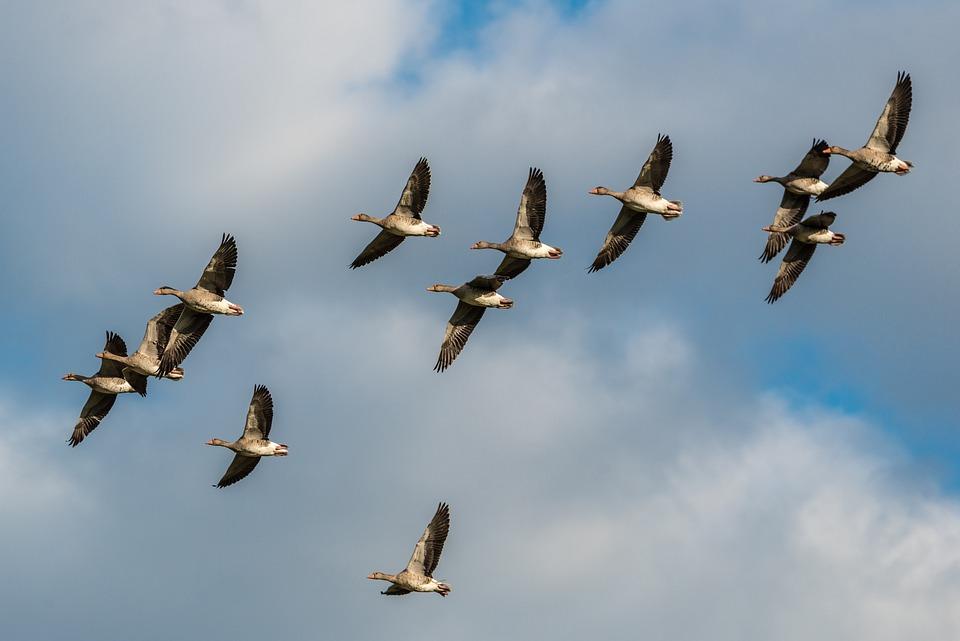 Grey Geese, Bird Flight, Flight, Fly, Birds, Wing