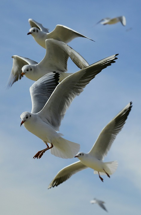 Animals, Birds, Flight, Flying, Gulls, Seagulls, Sky