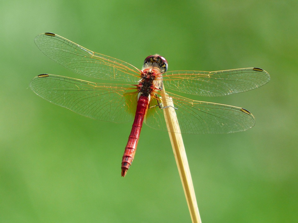 Dragonfly, Red, Animal, Insect, Flight Insect