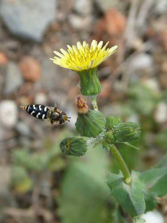Flower, Hoverfly, Fly, Flight, False Bee, Insect
