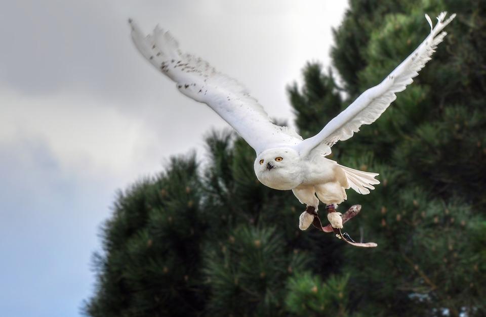 Snowy Owl, Bird, Raptor, Animal, Owl, Fly, Sky, Flight