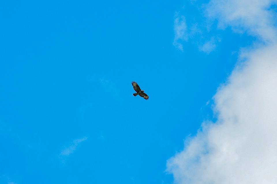 Bird, Buzzard, Predator, Wildlife, Nature, Sky, Flight