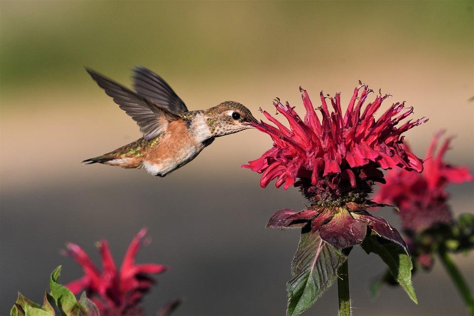 Rufous, Bird, Hummingbird, Flight, Wings, Flower