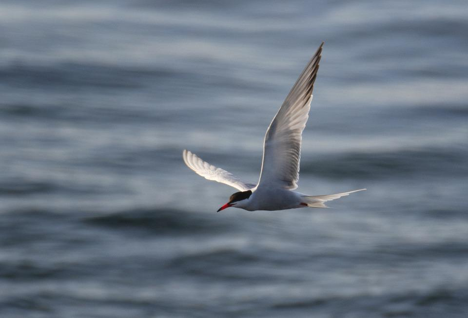 Seagull, Bird, Wings, Flight, Tern, Sea, Ocean