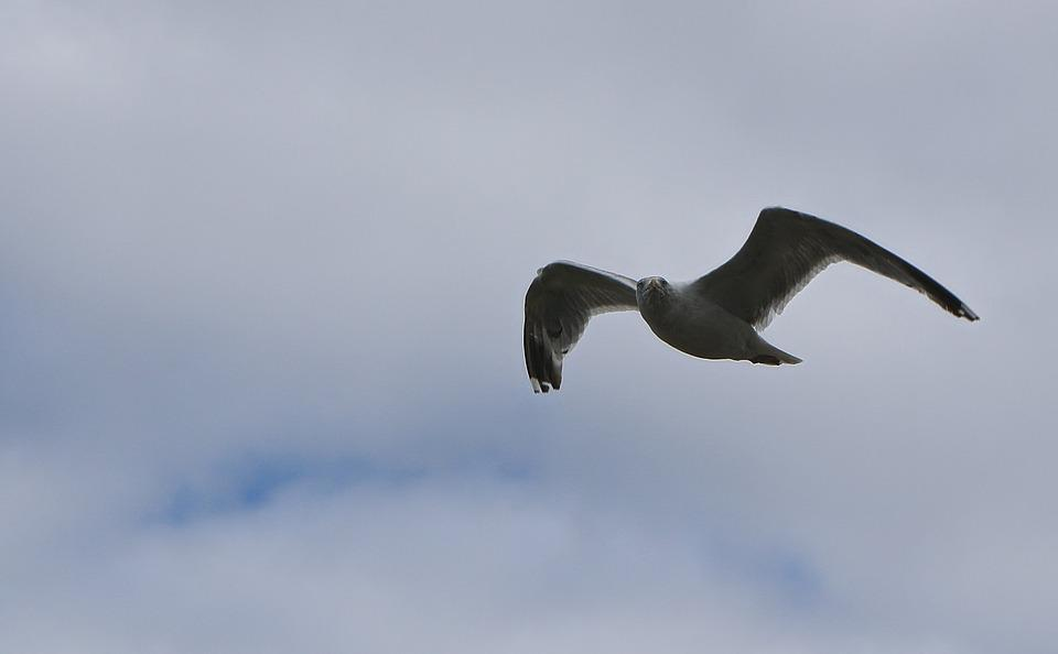 Seagull, Flight, Sea, Fly, Water Bird, Nature, Sky