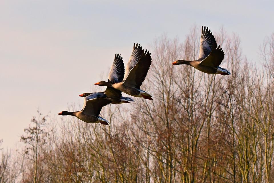 Goose, Water Bird, Flight, Flying, Wing, Plumage, Bill