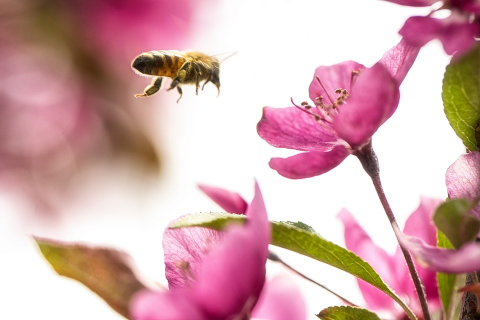 Nature, Bee, Bumblebee, Flight, Flower, Wings